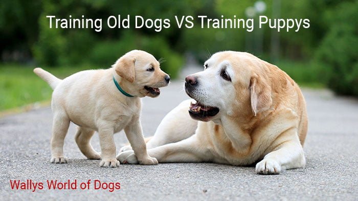 Old Dog vs Puppy Training