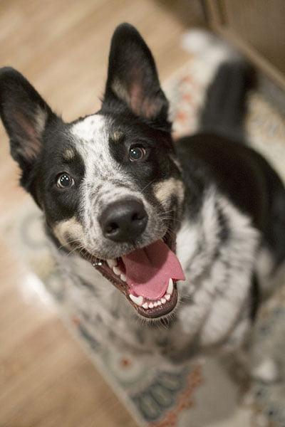 Advanced Dog Training - Dog Paying Attention